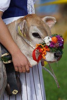 40+ Free Cattle Show & Switzerland Photos - Pixabay
