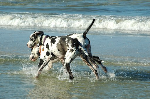 Great Danes, Dogs, Playing, Surf, Ocean