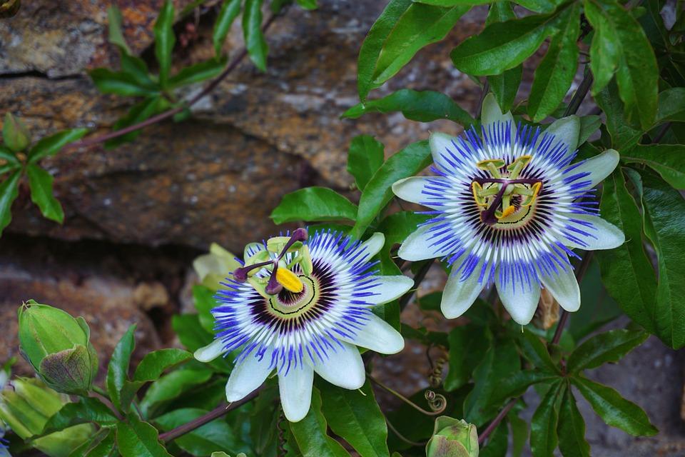 Passiflore, Fleur, Botanique, Nature, Passiflore Bleue