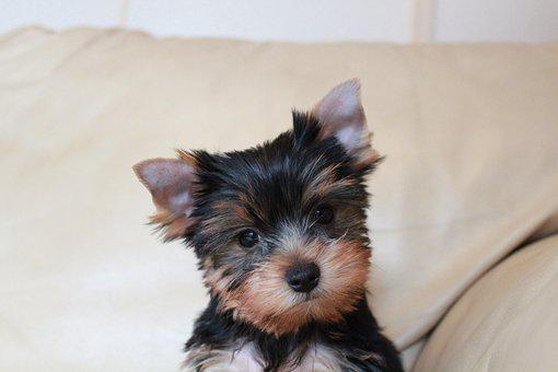 Puppy, Yorkshire Terrier Puppy