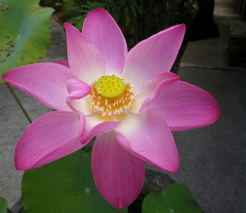 free photo lotus flower, flower, lotus  free image on pixabay, Beautiful flower