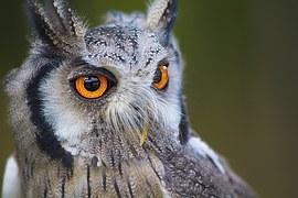 Owl, Bird, Animal, Nature, Portrait