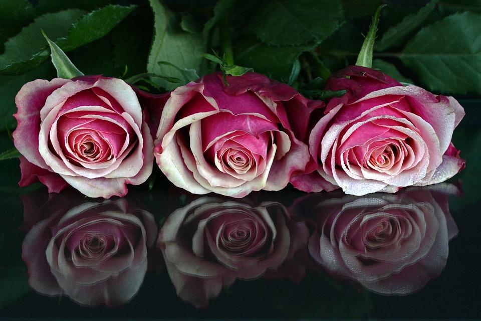 roses flowers rose flower free photo on pixabay