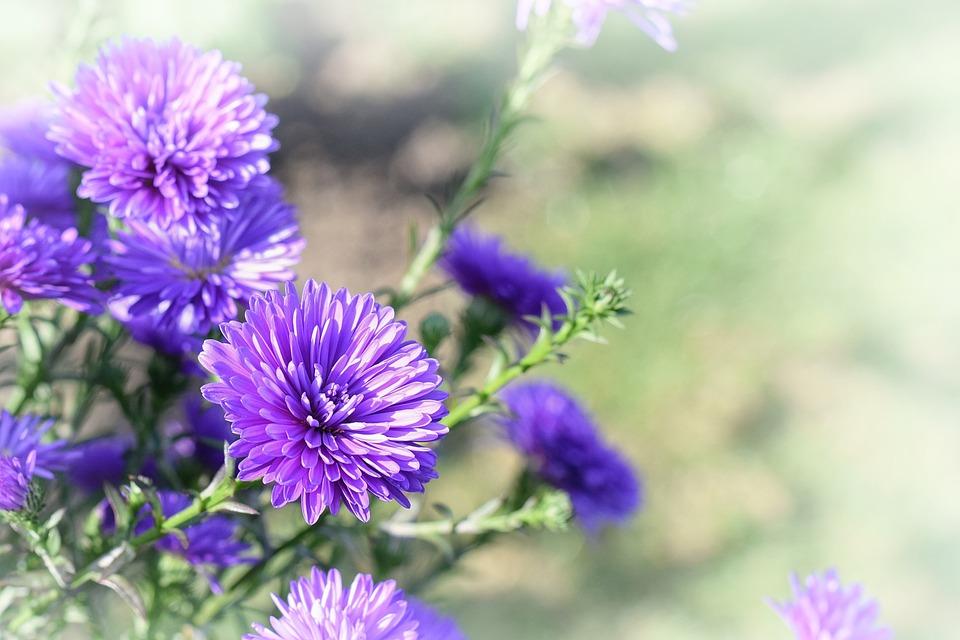 Flower Garden Wallpaper free photo: flower, garden, purple, wallpaper - free image on