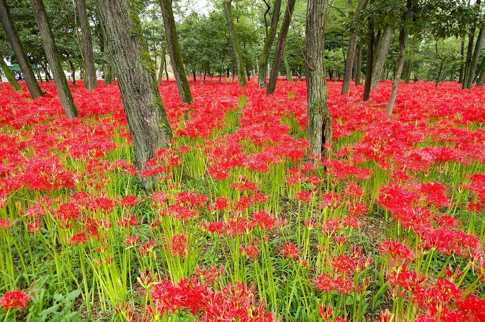 高麗, 巾着田, 植物, 花, 曼珠沙華, 赤, 秋, 日高市