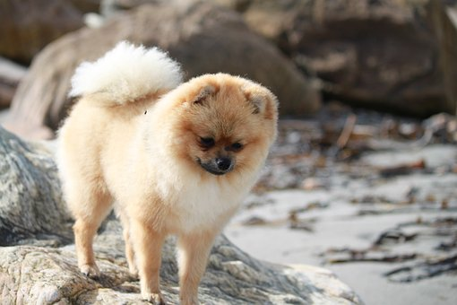 Pomeranian, Spitz Miniature, Pet, Dog