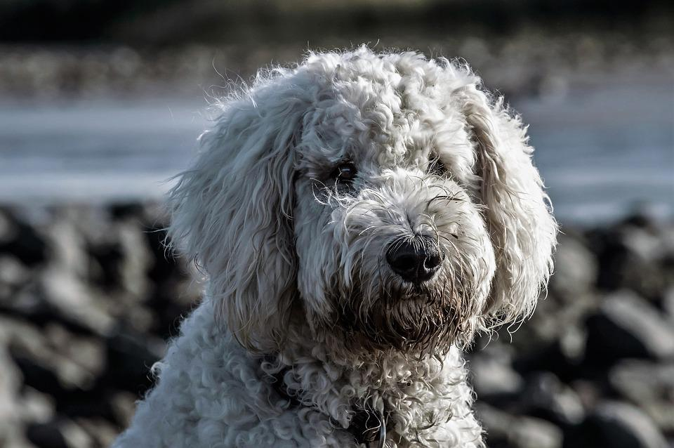 Goldendoodles And The Golden Years What You Need To Know
