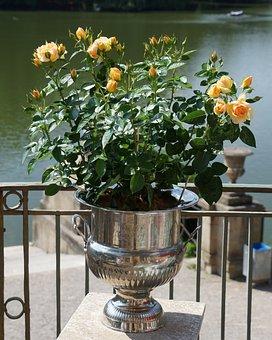 Plant, Rose, Pot, Yellow, Orange, Flower