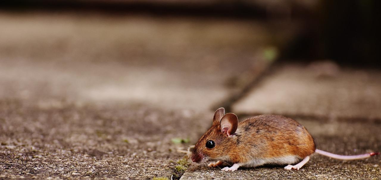 мыши грызуны фото же, ребята