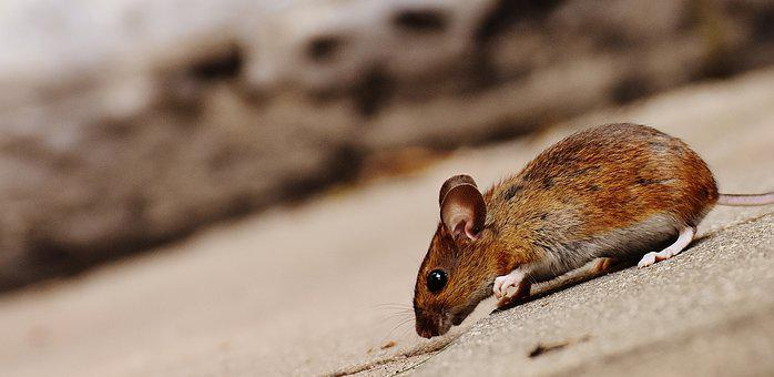 Mouse, Rodent, Cute, Mammal, Nager