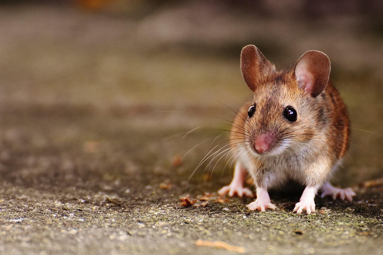 фото и картинки мышей этой