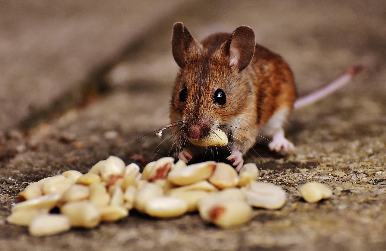 Мышь зверь картинка