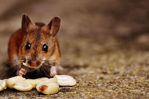 Mouse Rodent Cute Mammal Nager Nature Anim
