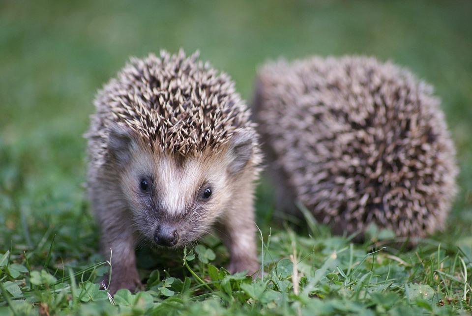 Hedgehog Garden Nature - Free photo on Pixabay