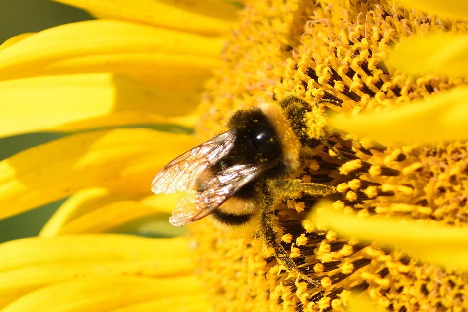 Photo gratuite hummel fleur du soleil jaune image gratuite sur pixabay 1709862 - Fleur du soleil ...