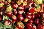 chestnut, buckeye, fruits