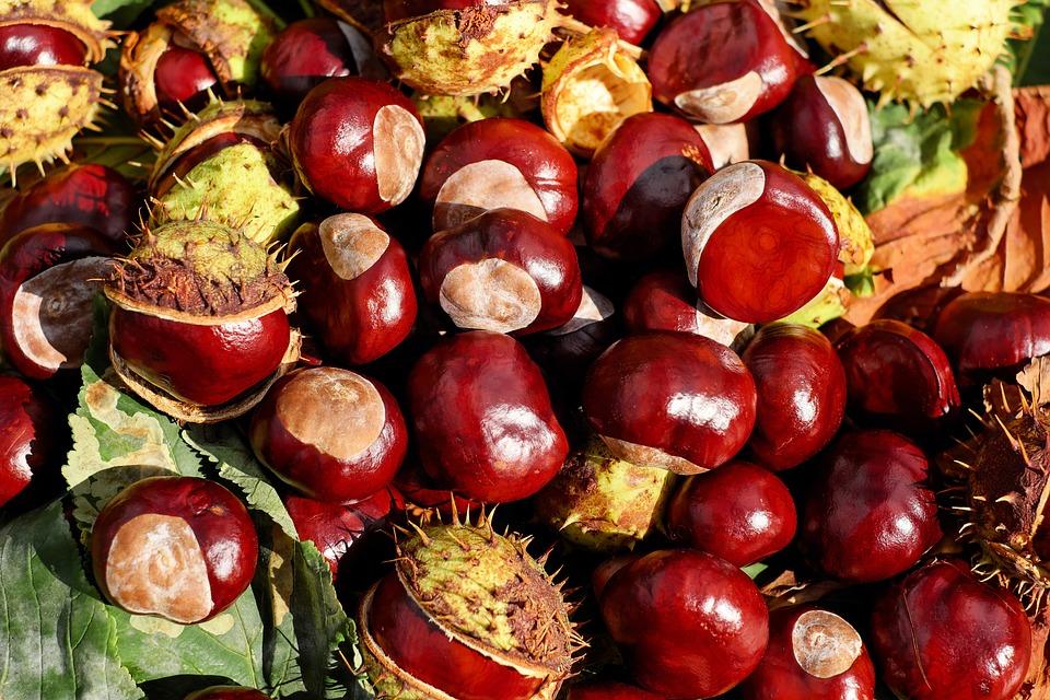 Castagno, Buckeye, Frutta, Rosso, Lucido, Pungiglione