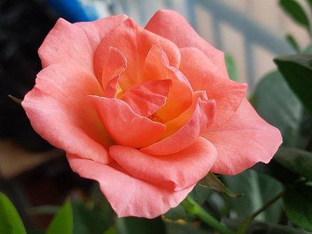 Cidade Das Rosas, Flores, Rose, Rosa