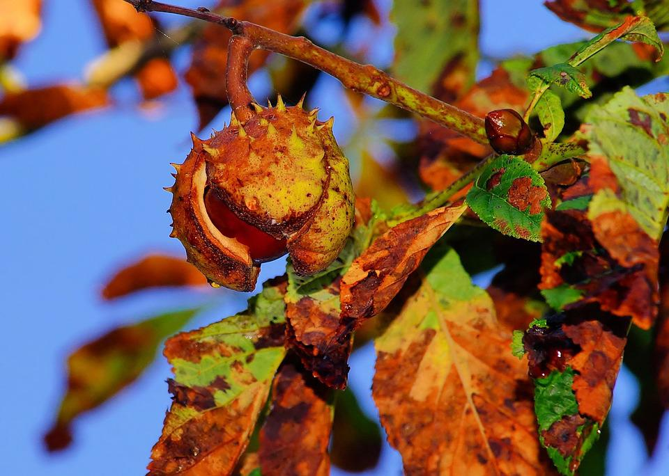 Chestnut, Autumn, Chestnut Tree, Ripe, Brown, Prickly