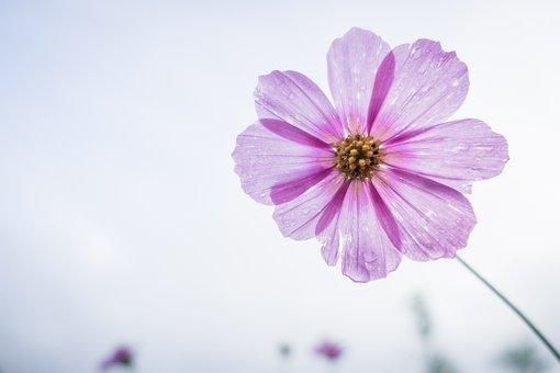 Cosmos Flower, Flower, Garden, Floral