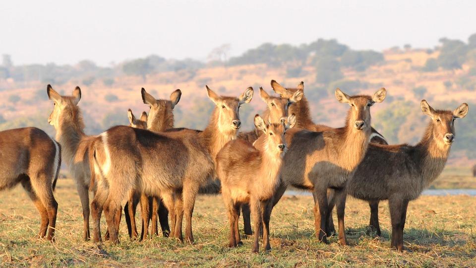 Antilopen, Wasserböcke, Chobe, Afrika, Herde, Gruppe