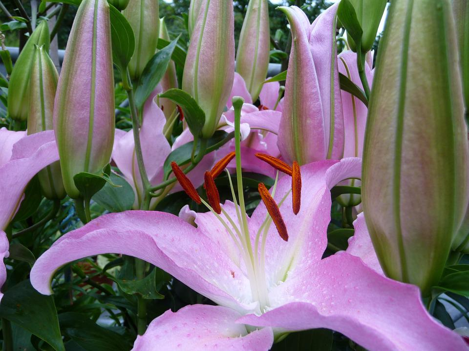 free photo lilies, flowers, blossom, bloom  free image on, Beautiful flower