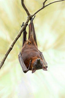 Bat, Australia, Wildlife, Nature, Tree