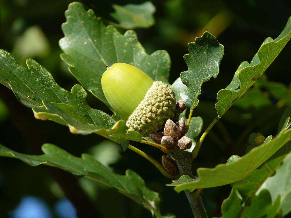 Oak Tree Fruit Part - 24: Oak Leaf Tree Fruit Oak Fruit German Oak Autumn