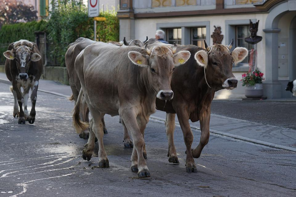 Cattle Show Appenzell Village - Free photo on Pixabay
