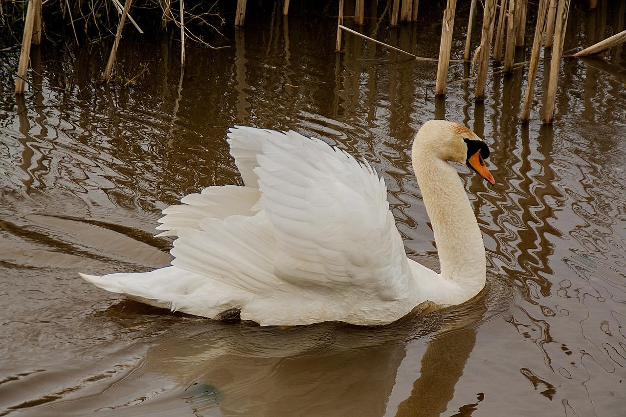 также покажи картинки лебедя нём