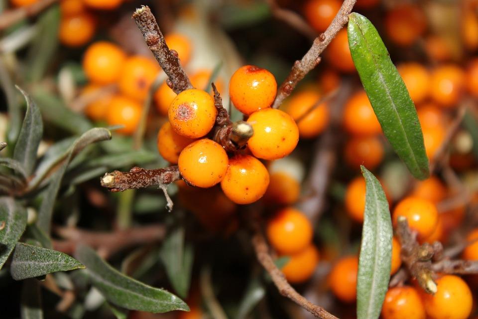 Boabe, Toamna, Fructe De Padure Portocaliu, Cătină