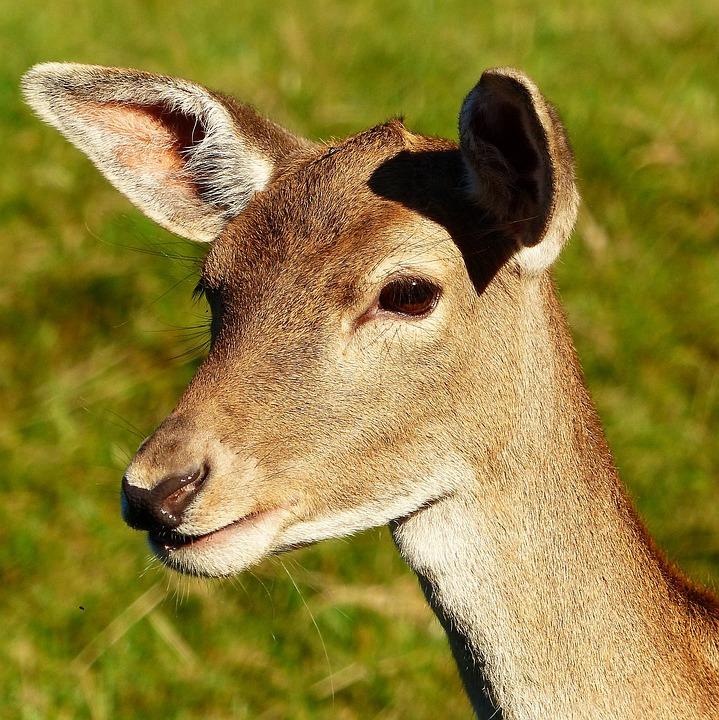 fallow deer doe animal portrait free photo on pixabay