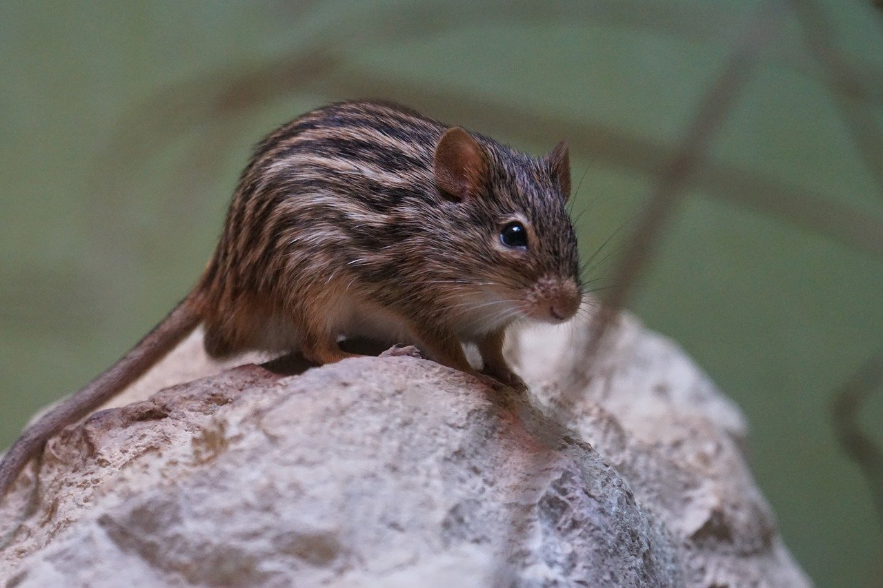 Striped Grass Mouse