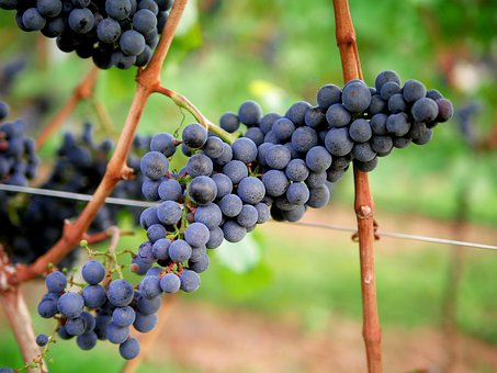 Grapes, Red Wine, Vineyard, Winegrowing