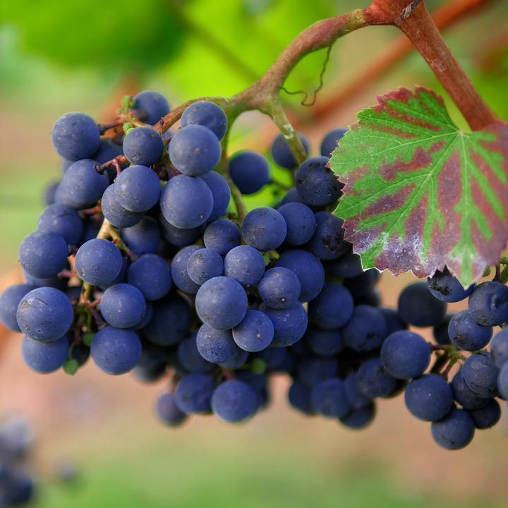 Uva, Vino Rosso, Vigneto, Trollinger, Viticoltura