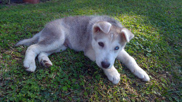 Siberian, Husky, Puppy, Dog, Animal