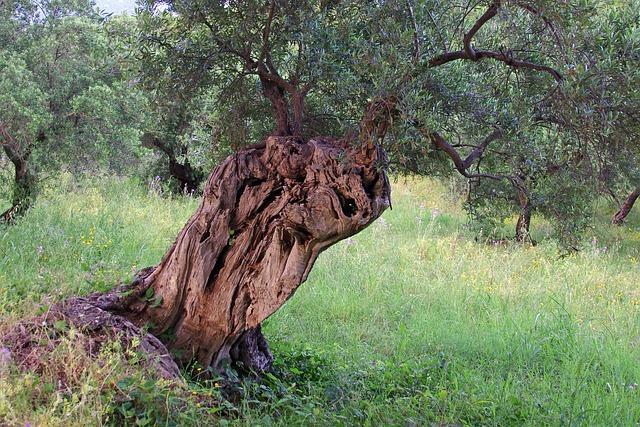 Foto gratis ulivo albero uliveto ulivi immagine for Che tipo di prestito puoi comprare terra
