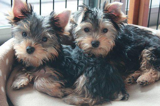 Teacup Yorkie Puppies for sale in Illinois