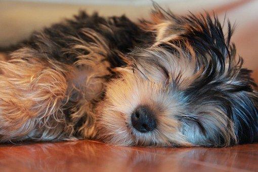 Sleeping Dog, Yorkshire Terrier, Puppy
