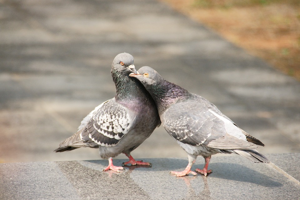 Image of: Quotes Pigeon Love Nature Peace Animal The Couple Pixabay Pigeon Love Nature Free Photo On Pixabay
