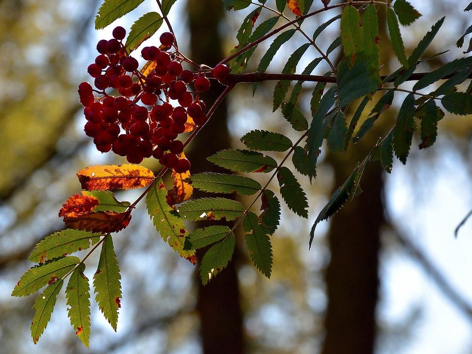 Top Rote Beeren Baum Natur - Kostenloses Foto auf Pixabay #LP_18