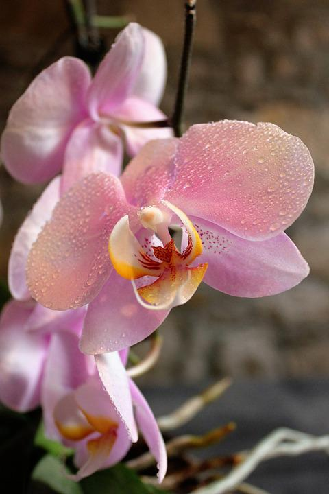 free photo orchid, flowers, beauty  free image on pixabay, Natural flower