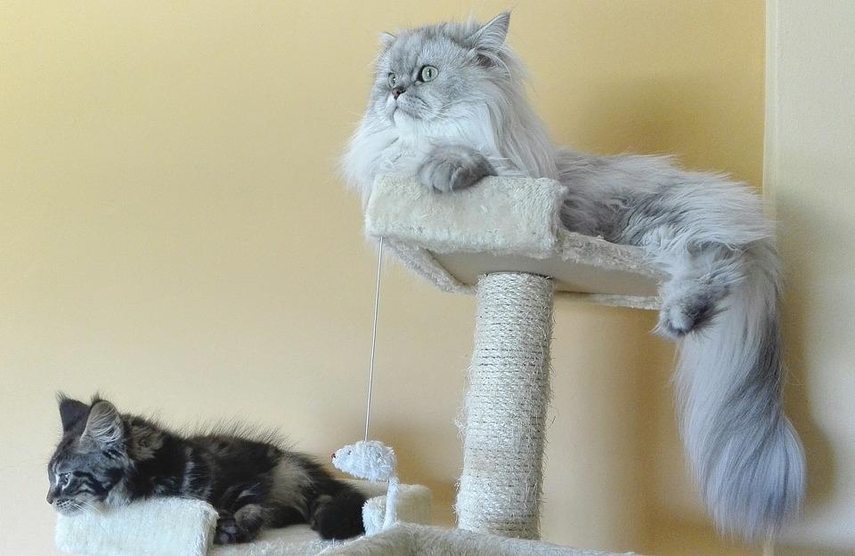 Zadarmo chlpaté mačička obrázky