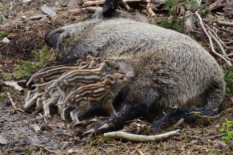 Wildschwein, Hog Wild, Ferkel, Tier, Schnauze, Schwein