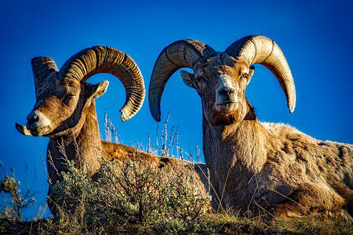 Bighorn, Sheep, Rams, Wildlife, Animals