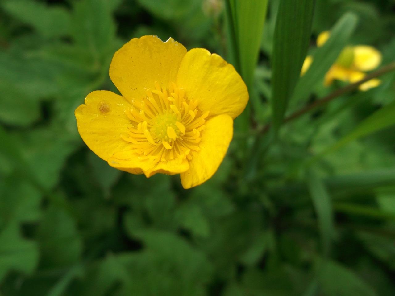 Картинка лютик растение