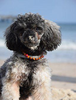 Beach, Sea, Water, Miniature Poodle