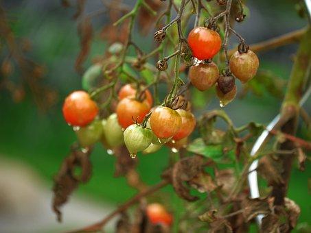 Tomate, Garten, Gemüse, Gesund