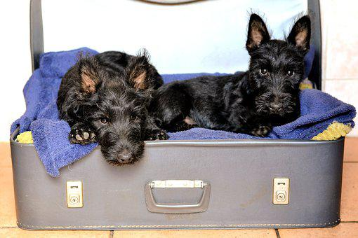 Terrier Escocês, Cama Mala, Black