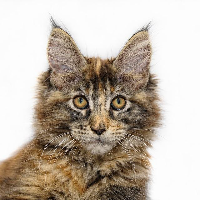 Maine Coon Cat Young 183 Free Photo On Pixabay